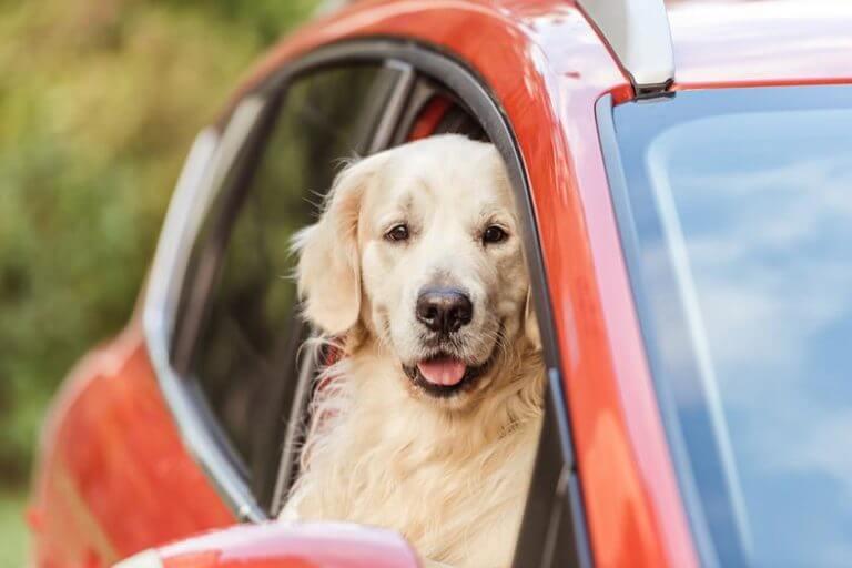 oswajanie psa z autem
