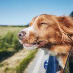 jak przewozić psa w aucie